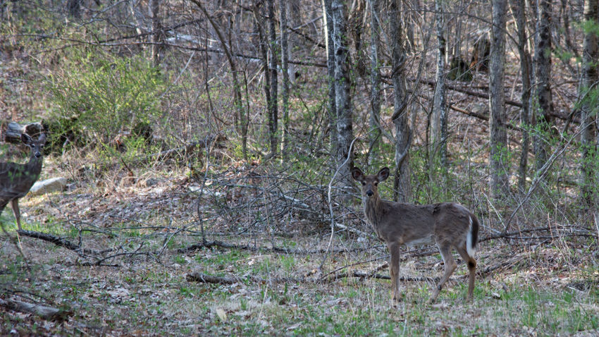 Spring Does Deer Does Animal Themes Animal Wildlife Animals In The Wild Day Forest Grass Mammal Nature No People One Animal Outdoors Tree