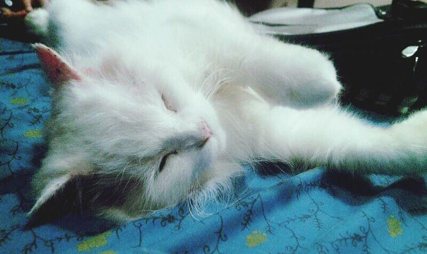 Pet Fluffy Cat Name Flurry