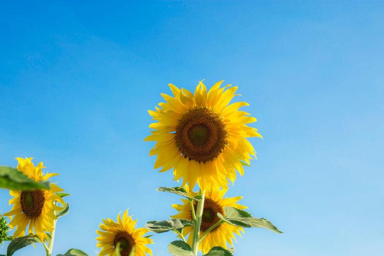 Sunflower against clear blue sky