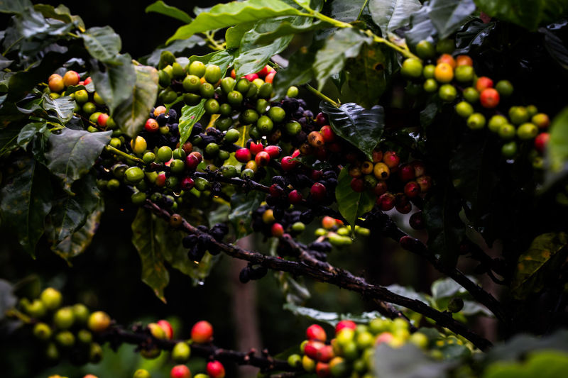 Coffee Coffee Beans Coffee Seeds Coffee Tree Fresh Fresh On Eyeem  Fresh Produce Green Low Key