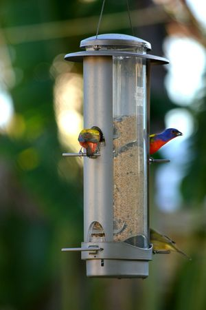 Painted Buntings at birdfeeder Birds At Feeder Painted Bunting Nature Outdoors Focus On Foreground Animal Wildlife Animal Themes Day Backyard Photography Wildlife In My Backyard Bird Feeder Perching Birds