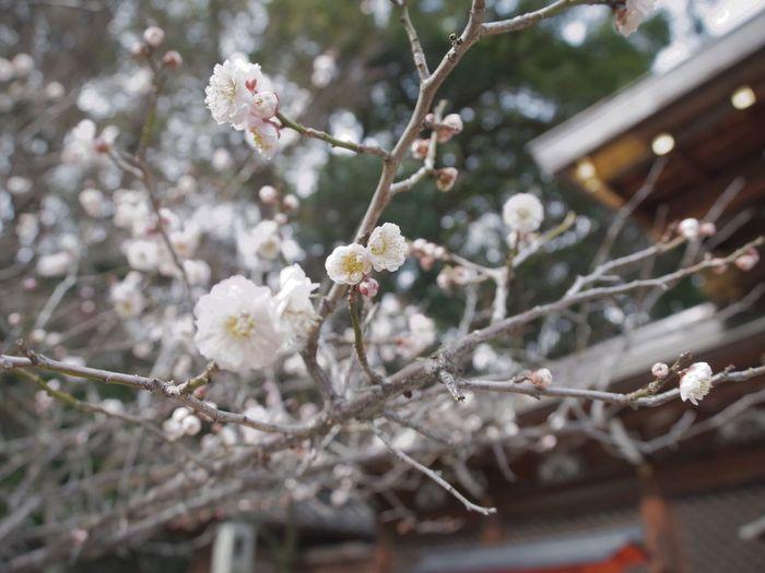 いい香り♫ 梅 京都 今宮神社