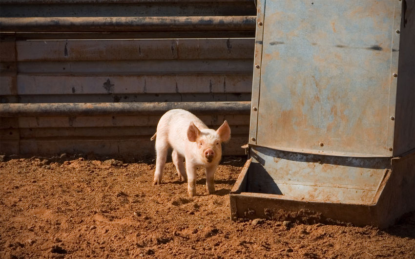 Piglet standing on field at farm