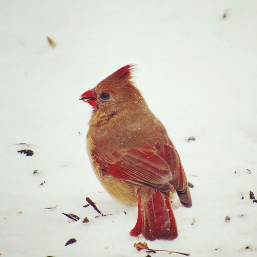 She's knows as long as she shows up in my yard they'll always be food. Kent, Ohio Female Redbird Red December Canonphotography Eating Sitting Snow Winter Sunday Cardinal Bird Animal Themes One Animal No People Red Close-up Perching Outdoors Nature Day