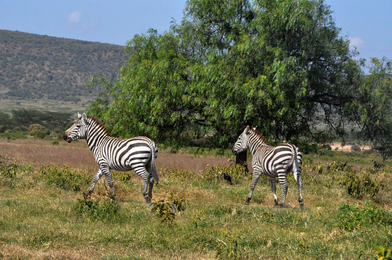 EyeEmNewHere Striped Zebra Animals In The Wild Animal Wildlife Mammal Animal Themes Tree Animal Markings Outdoors Day Safari Animals Nature No People Sky EyeEm Best Shots - Nature EyeEm Kenya EyeEm Selects EyeEm Gallery EyeEm Best Shots Zebras Zebra♥ Kenya