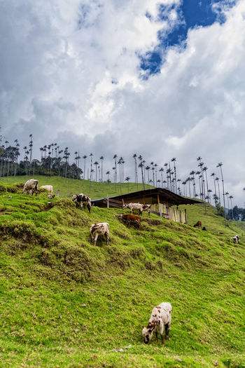 Cows grazing on grassy hill against cloudy sky