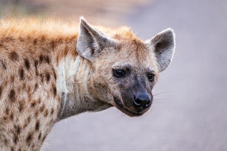 Close-up portrait of hyena