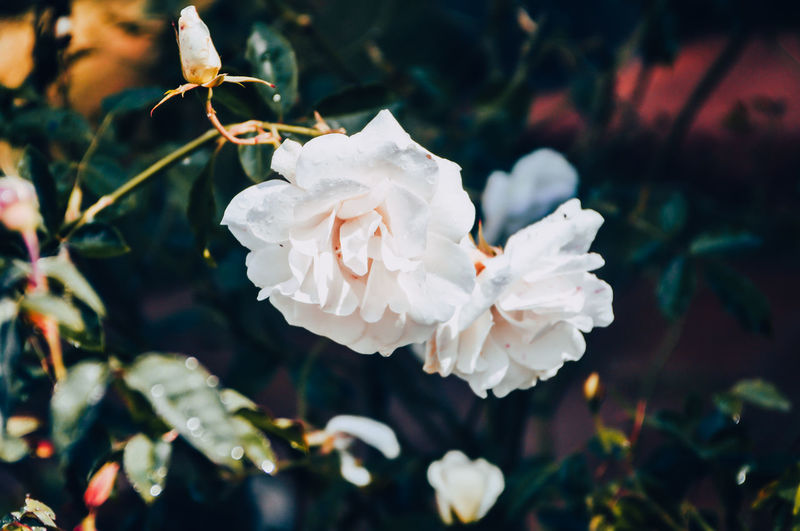 Tree branch detail background with white roses. Outdoors No People Day Plant Part Nature Leaf Inflorescence Flower Head Focus On Foreground Close-up Growth White Color Freshness Petal Beauty In Nature Flower Flowering Plant Plant Rose - Flower