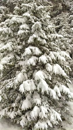 snowy pine tree... Forest Pine Woodland Backgrounds Beach Sand Full Frame Close-up Snow Covered Snowcapped Mountain Winter Cold Temperature Snowcapped Snow White Cold Weather Condition Covering Snowfall Frozen Icicle