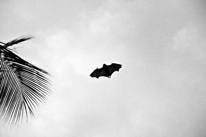 Mauritius Bat Batman Flying Blackandwhite Sky Point Of View Capture The Moment Nature Animal