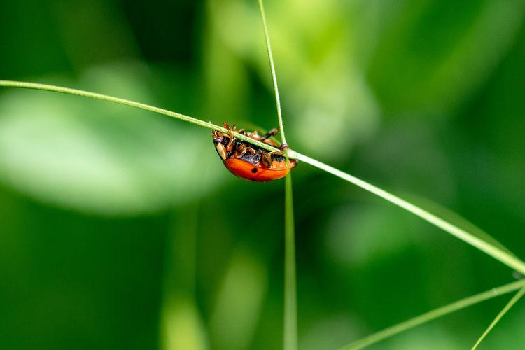 Ladybird walking upside down on a blade of grass