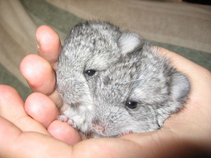 Chincilla babies in hand Animal Animals Chinchilla Chinchillas Cub Pet Pets Rodent Rodents