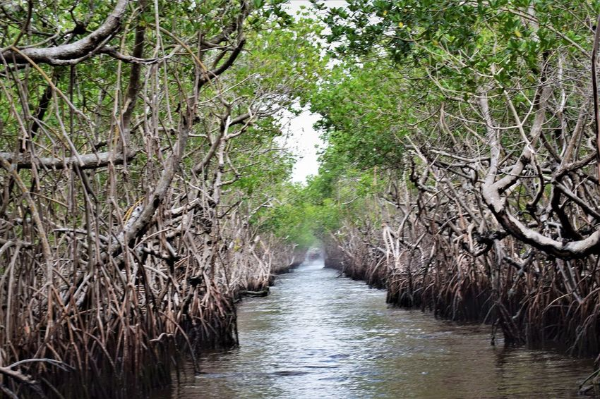 Mangrove tunnel Nature Nature Photography Beauty In Nature Everglades  Landscape Mangrove Nature Outdoors River Scenics Tranquility Tree Water