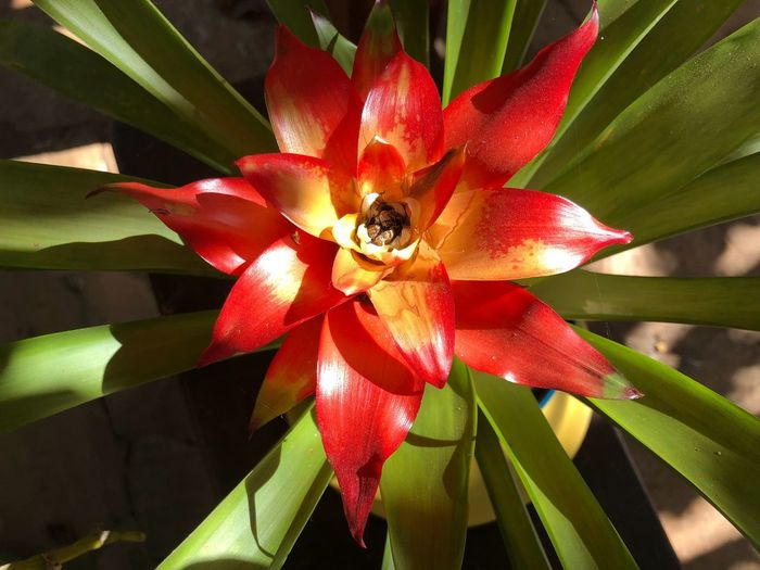 Bromelias Bromelia Plant Growth Beauty In Nature Close-up Flower Flowering Plant Nature Petal Vulnerability  Fragility Day No People Inflorescence Freshness Flower Head Sunlight Leaf Plant Part