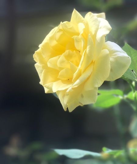 Close-up of yellow rose blooming outdoors