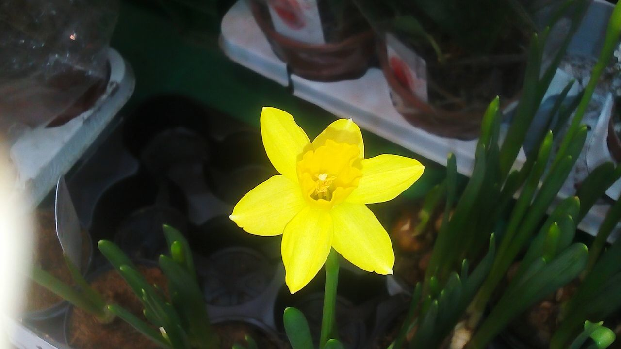 flower, yellow, petal, fragility, flower head, growth, beauty in nature, freshness, nature, plant, no people, close-up, day, daffodil, outdoors