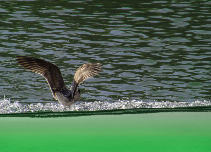 Animal Themes Animal Wildlife Animals In The Wild Bird Day Flying Lake Motion Nature No People One Animal Outdoors Pelican Rippled Spread Wings Water Water Bird Waterfront