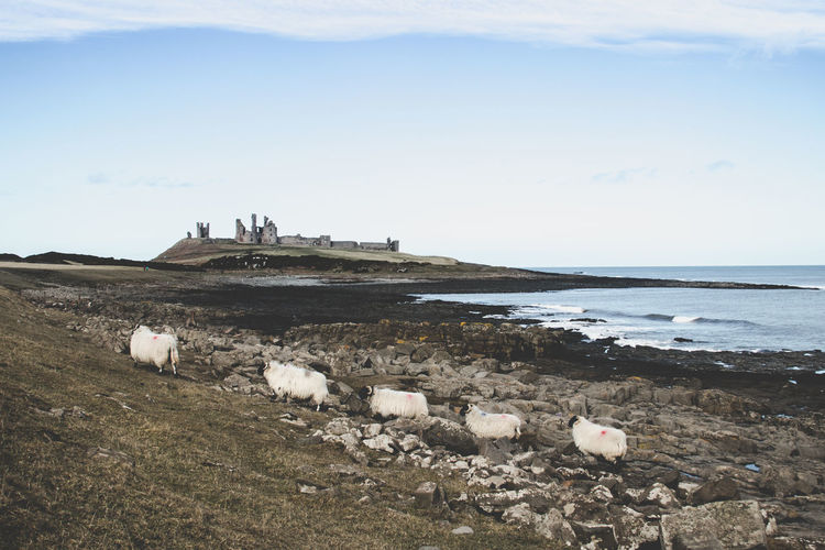 Northumberland Coastline Northumberland Que Sheep Postcard Coastline Dunstanburgh Castle Animal Themes Beach Beauty In Nature Coast Day Horizon Over Water Large Group Of Animals Mammal Nature No People Outdoors Scenics Sea Sheep Sky Tranquil Scene Tranquility Water Go Higher Summer Exploratorium
