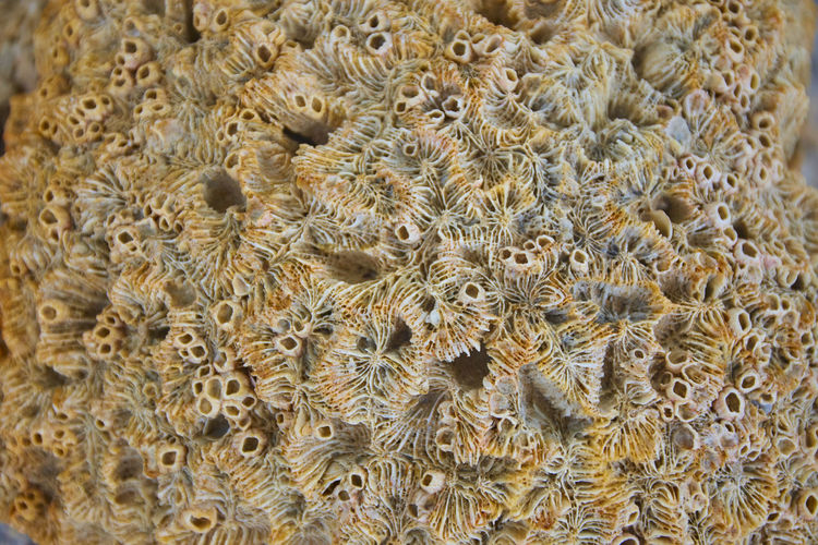 Dried coral