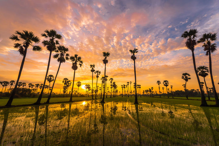 golden hour on rice field Tree Palm Tree Water Sunset Sky Grass Cloud - Sky Rice Paddy Coconut Palm Tree Tropical Tree Palm Leaf Coconut