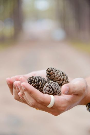 Close-Up Of Human Hands Holding Pine Cones