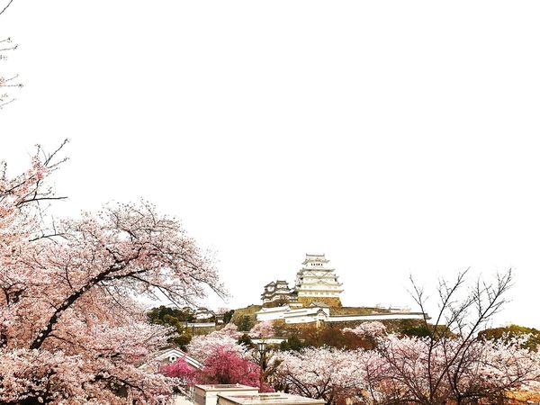 Tree Travel Destinations Religion Spirituality Architecture Travel Flower Place Of Worship Tourism No People History Branch Nature Outdoors Pink Color Beauty In Nature Built Structure Dome Building Exterior Castle Himeji Castle Cherry Tree Cherry Blossoms EyeEm Best Edits EyeEm Best Shots