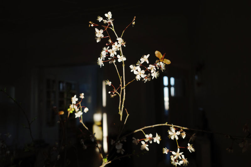 Close-up of white flowering plant at night