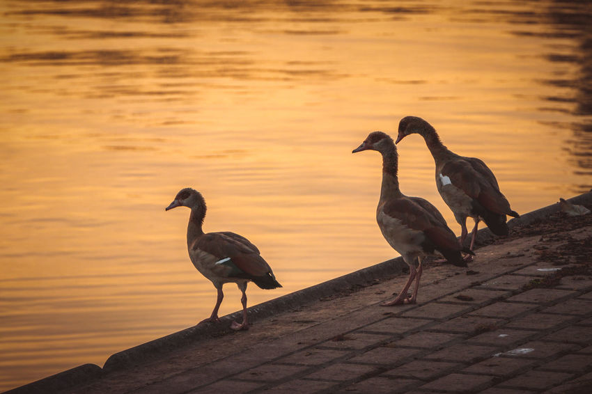 Egyptian geese Alopochen Aegyptiaca Egyptian Geese Geese Animal Themes Animal Wildlife Animals In The Wild Beauty In Nature Bird Day Nature No People Outdoors Perching Water
