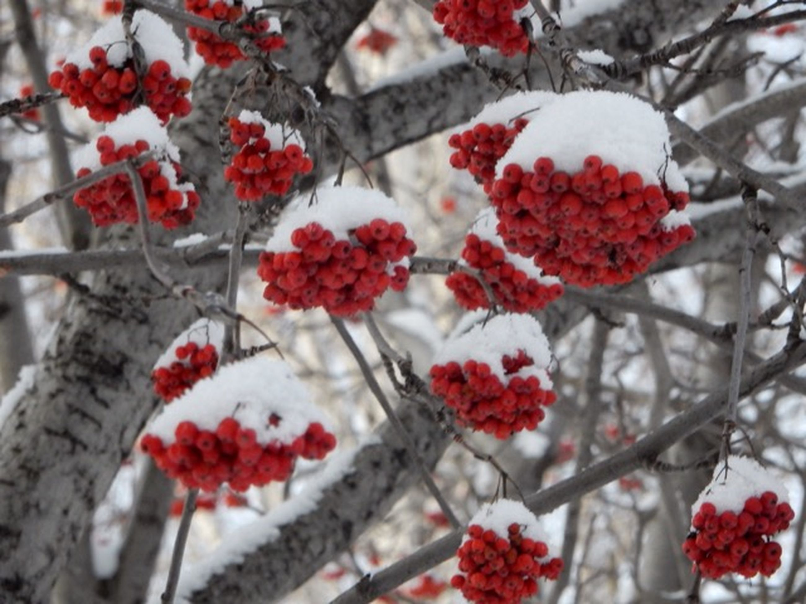 red, branch, freshness, flower, tree, growth, focus on foreground, nature, close-up, fruit, beauty in nature, season, berry fruit, berry, cherry tree, day, winter, fragility, cold temperature, outdoors