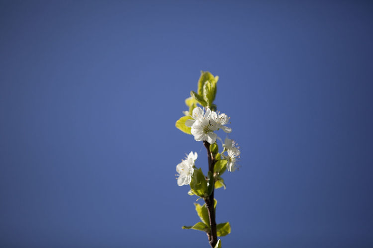 Close-up of white flowers against clear blue sky
