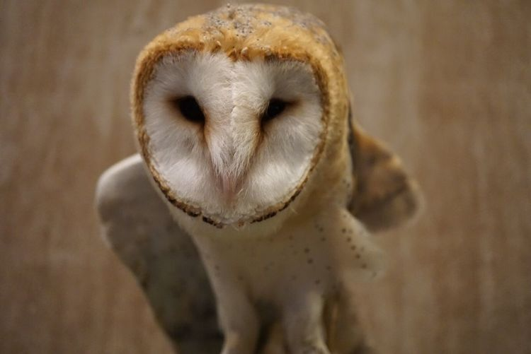 Close-Up Portrait Of Barn Owl