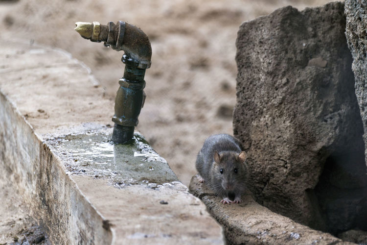 A Norwegian rat (Rattus norvegicus) tries to steal food near a small pool. Rat Rattus Norvegicus Animal Themes Animal Wildlife Animals In The Wild Close-up Day Mammal Nature No People One Animal Outdoors Water