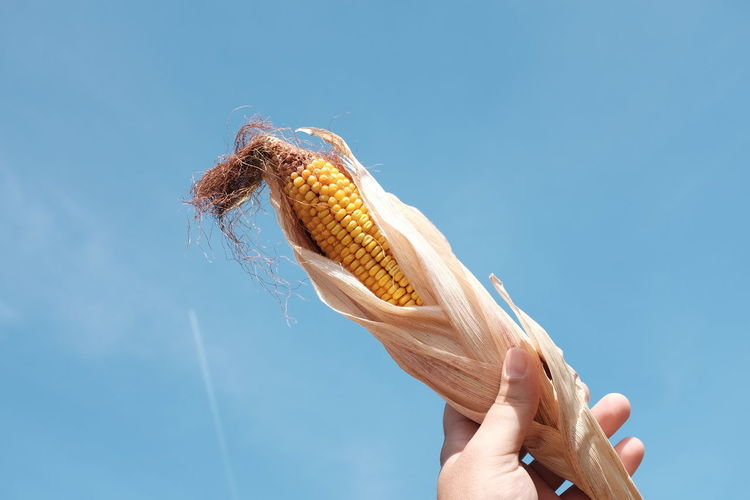 Cropped Hand Of Man Holding Sweetcorn Against Blue Sky