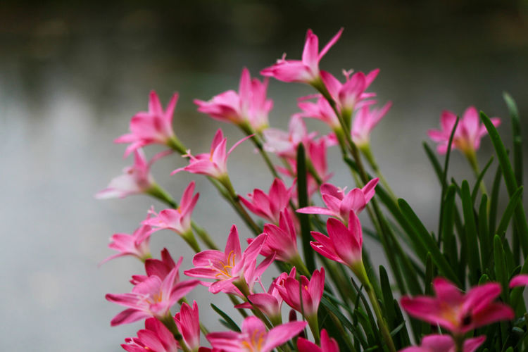 Flowering Plant Flower Plant Pink Color Beauty In Nature Freshness Vulnerability  Petal Fragility Growth Inflorescence Nature Close-up Focus On Foreground No People Selective Focus Outdoors Flower Head