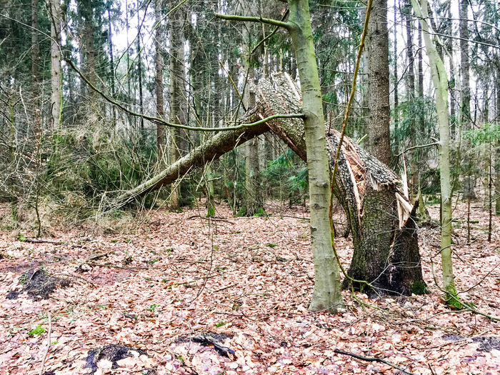 ... the power of the wind is merciless !! ... Beauty In Nature Branch Broken Tree Forest Growth Leaf Nature No People Outdoors Scenics Tranquil Scene Tranquility Tree Tree Trunk