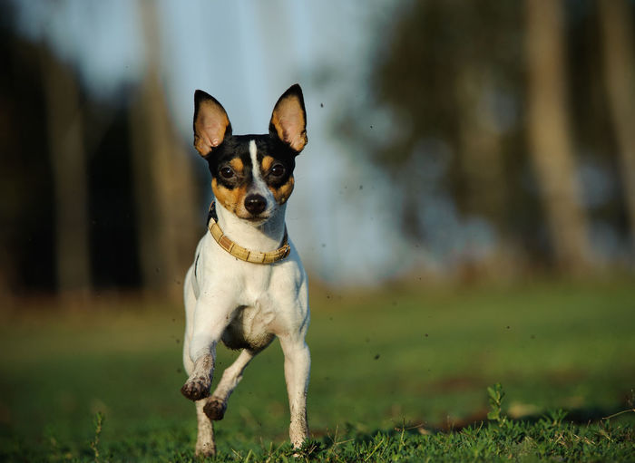 View Of A Dog Running On Grassland