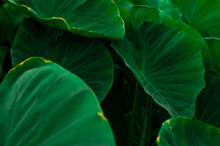 Green leaves of elephant ear in jungle. green leaf texture with minimal pattern. green leaves.