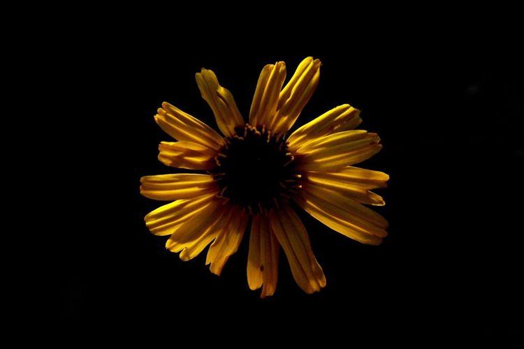 Flower Black Background Yellow Nature Pollen Close-up Sunflower Plant First Eyeem Photo EyeEmNewHere EyeEmNewHere