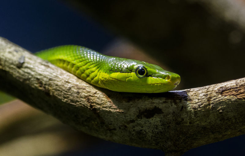 Red-tailed Green Ratsnake Amphibian Animal Head  Animal Themes Beauty In Nature Close-up Day Focus On Foreground Green Green Color Nature No People Outdoors Selective Focus Snake Wildlife