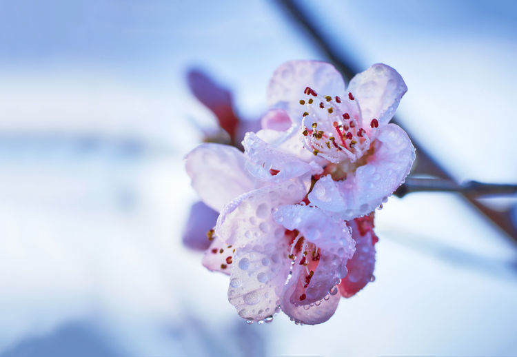 Close-Up Of Wet Cherry Blossom