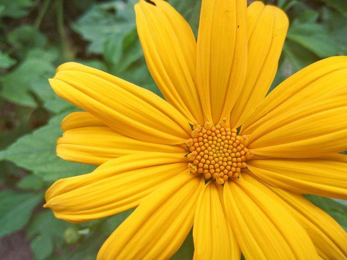 Fibonacci in Nature. Flowers. Sunflower Yellow Flower Beauty In Nature Blooming Flower Flower Head Flower Petals Freshness Nature Petal Yellow Yellow Petals