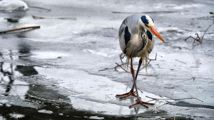 Berlin Photography Rummelsburger Bucht Animal Animal Themes Catching A Fish Grey Heron  Heron Heron On Ice One Bird Wildlife