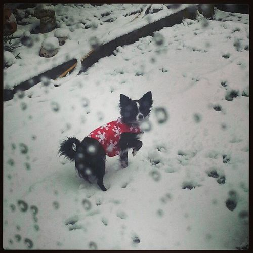 Cold toes Chihuahua Snow Fashion Cute Freezing Letmein