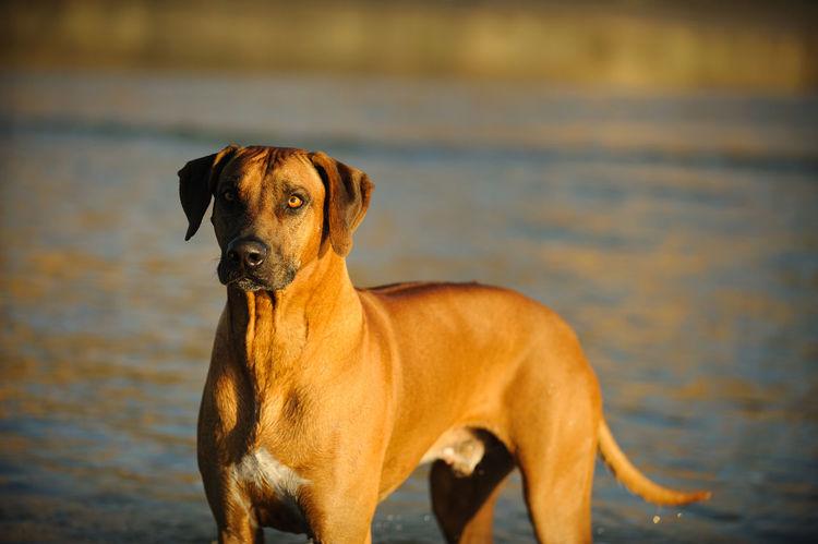 Rhodesian Ridgeback dog Animal Themes Day Dog Domestic Animals Focus On Foreground No People Outdoors Pets Portrait Rhodesian Ridgeback Ridgeback