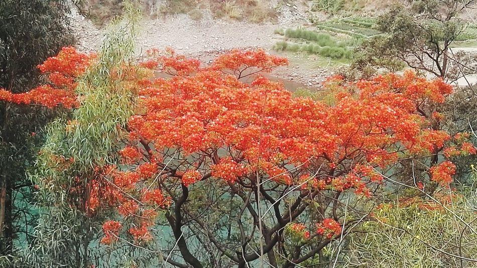 凤凰树系列14 Tree Red Full Frame Backgrounds Close-up Plant