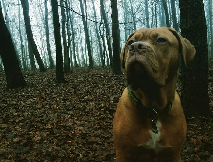 Chocolate labrador against trees in forest