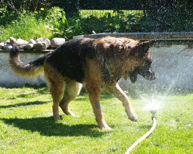 Kleine Erfrischung !!! Dog In Action Happy Dog Best EyeEm Shot German Shepherd Waterfunday Water Tree Spraying Standing Grass