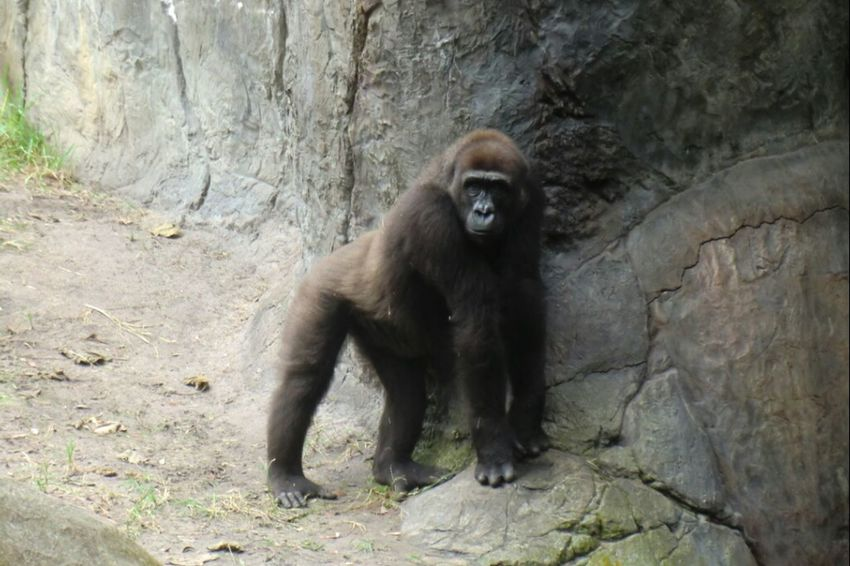 i'm posing just for you... Nature_collection EyeEm Nature Lover Animals EyeEm Best Shots - Nature Ape Gorilla