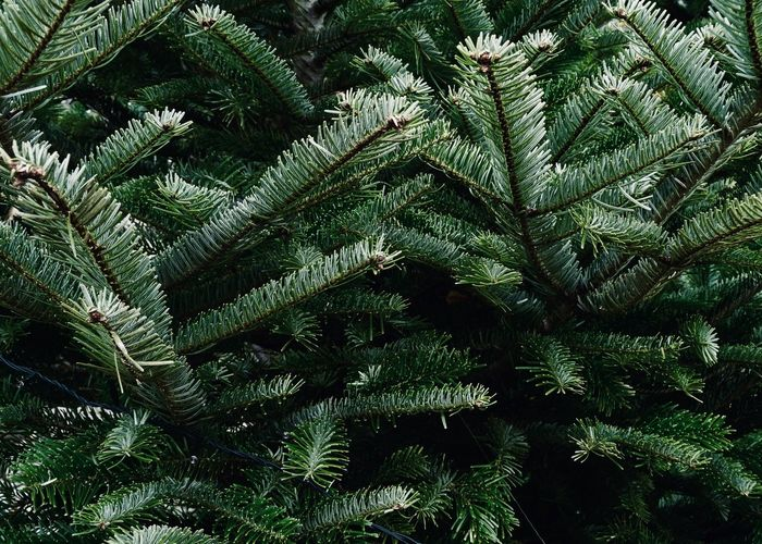 A close up of pine tree branches Plant Growth Tree Green Color Beauty In Nature Nature Tranquility Leaf Plant Part Fir Tree Needle - Plant Part Pine Woodland Coniferous Tree Lush Foliage Foliage Fern Full Frame Backgrounds Pine Tree Branch Outdoors Spruce Needle Christmas Holiday
