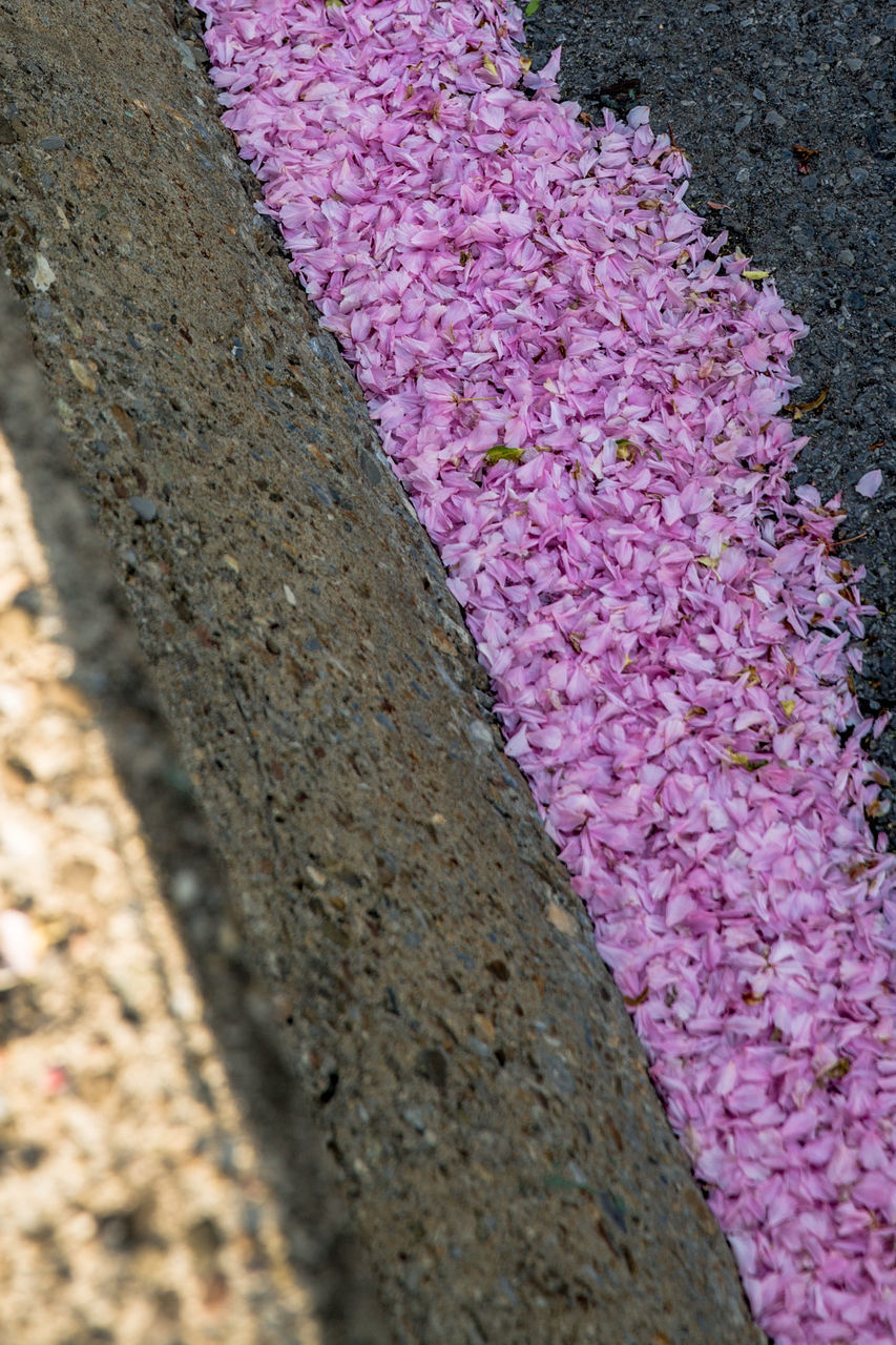 pink color, close-up, no people, flower, plant, flowering plant, day, nature, textured, beauty in nature, growth, wall - building feature, outdoors, selective focus, wall, freshness, fragility, vulnerability, built structure, purple, concrete